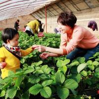 青岛郝家草莓采摘,欢迎朋友们的到来