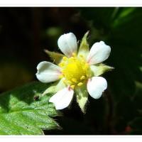 四大优势成就青岛郝家营草莓园