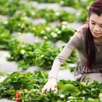 甜宝草莓如何采收