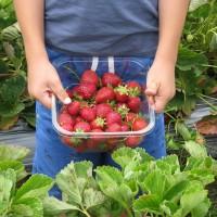 为什么人们都喜欢去青岛夏庄草莓采摘