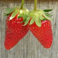 青岛草莓采摘:选择合适的草莓品种