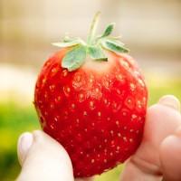 2019青岛草莓采摘季开始