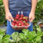 草莓采摘,帮助农民脱贫致富