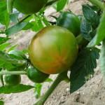 -69西红柿如何施肥