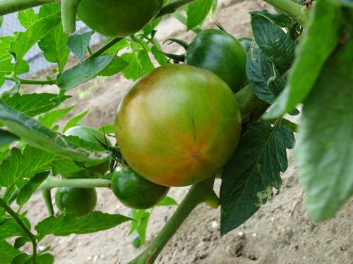 青岛-69西红柿